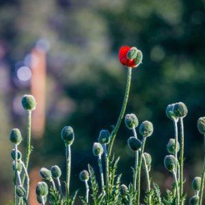 poppy flower just emerging