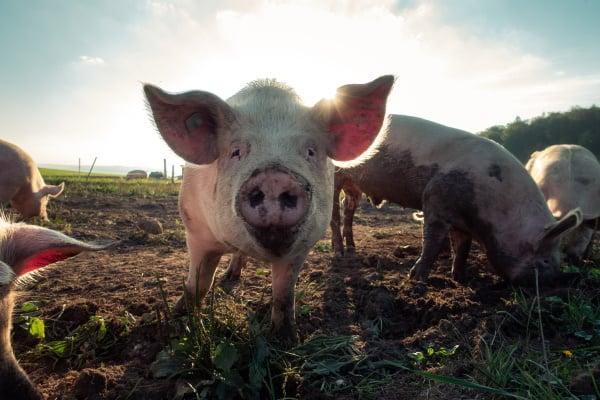 muddy pig in a field
